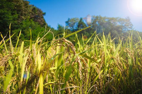 千葉県民は米にこだわる?こだわりのお米が選ばれる理由とは