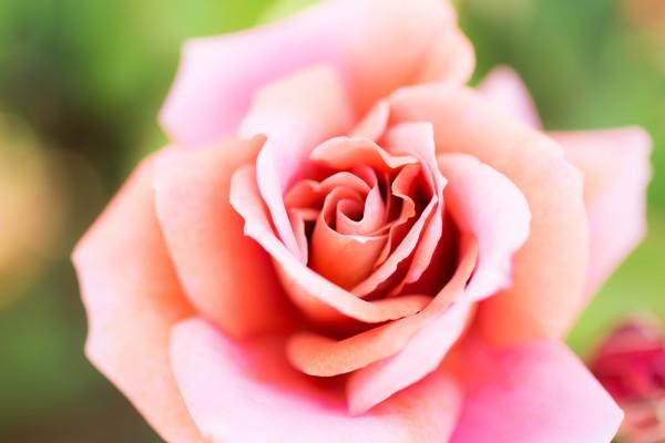 バラの香りをまとう幸せ